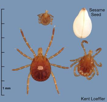 What does a tick look like?